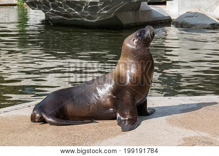 Young Sea Lion basking in the sun near rippling pool on the stone floor
