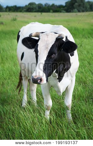 Dairy cow stands in her pasture. Farm Animal Grown for Organic Meat