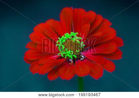 Beautiful red zinnia flower. Close-up of blooming zinnia flower