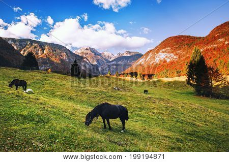 Horses grazing in alpine meadows at autumn. Morning at dawn in the Alps Bohinj Slovenia. Amazing view on alpine village valley and mountains. Nature landscape. Triglav National Park