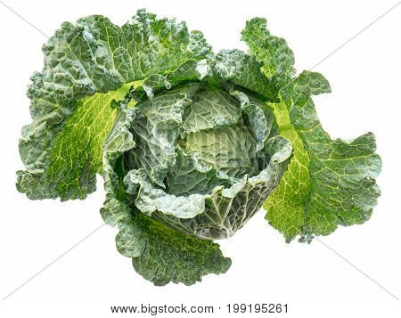 Fresh juicy head of savoy cabbage isolated on white