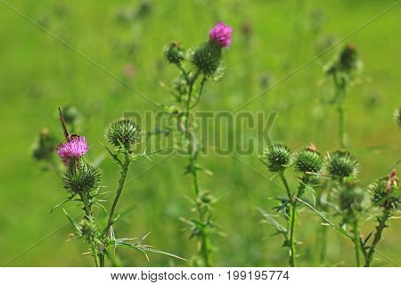 Spear thistle bull thistle or common thistle (Cirsium vulgare) flowering plant in a meadow