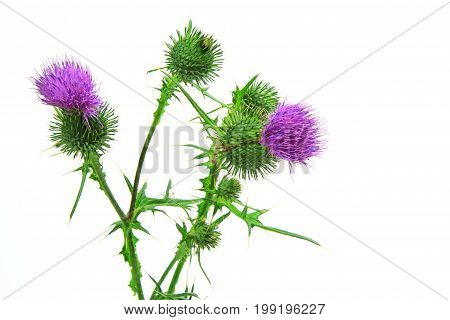 Spear thistle bull thistle or common thistle (Cirsium vulgare) flower isolated against white background