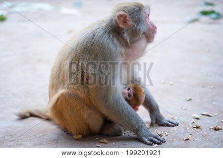Female rhesus macaque and her baby with peanuts on the ground, Lushan mountain, Xichang, China