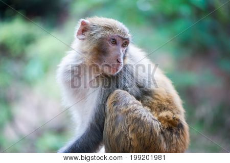 Rhesus macaque looking back in Xichang forest, China