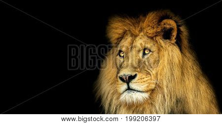 Lion with black backround. Postcard with king animal. Poster with lion.