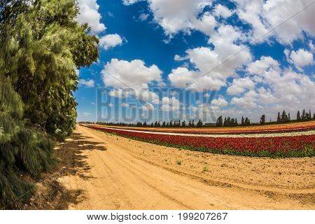 Photo taken fisheye lens. Magnificent flowering garden buttercups. Spring in Israel. The concept of modern agriculture and industrial floriculture
