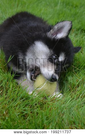 Very sweet alusky puppy chewing on a ball in the grass.