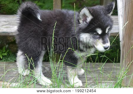 Cute fluffy alusky puppy with slightly damp fur peering through grass.