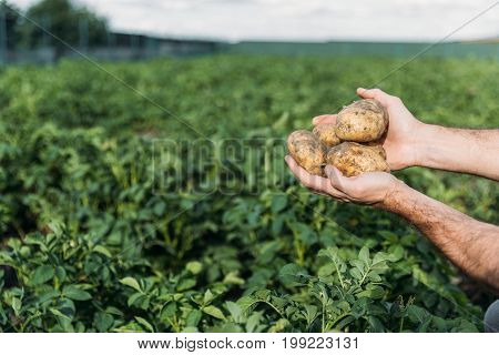 Farmer Holding Potatoes In Field
