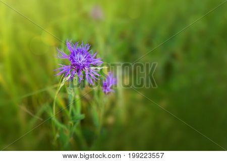 Purple cornflower in summer meadow isolated on green .