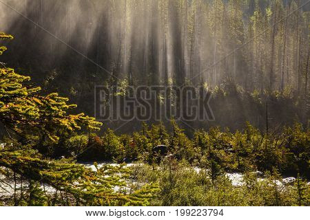 nebular forest near takakkaw falls, yoho national park british columbia, canada