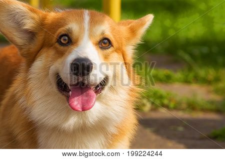 Welsh Corgi - a hunting breed of dogs. Head with open jaws against the background of green blurred grass, a look forward to a close-up. Space under the text. 2018 year of the dog in the eastern calendar