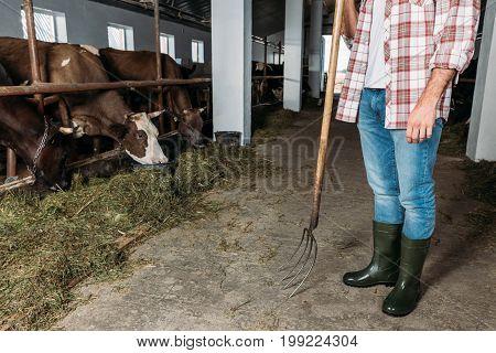 Man With Pitchfork Feeding Cows