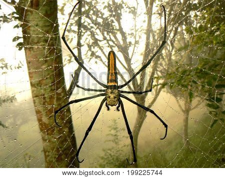 Giant Wood spider (Nephia pilipes) in close-up, Nepal