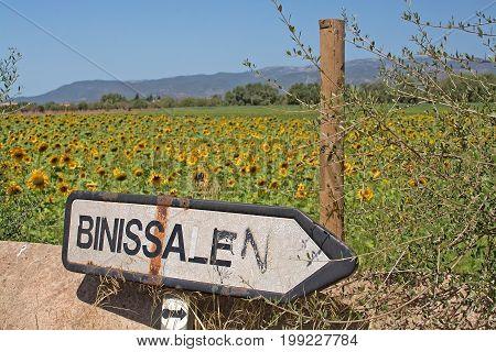 Sunflower Field Binissalem Roadpost
