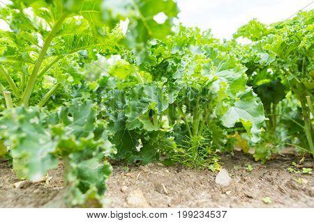 Kale Growing In Vegetable Garden