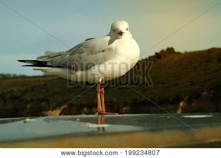 Seagull standing on the glass at the harbor and sky in the background in warm color.