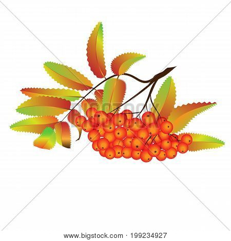 Autumn rowan berries . Ash-berry branch on the white background. Vector illustration. Autumn design element.