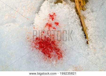 Blood stain on snow left by injured animal.