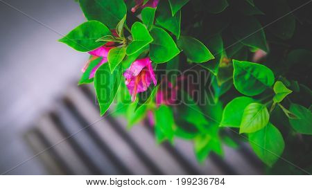 Bougainvillea is a genus of thorny ornamental vines, bushes, and trees with flower-like spring leaves near its flowers