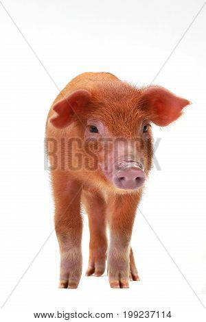red pig red pig isolated on a white background, studio shot
