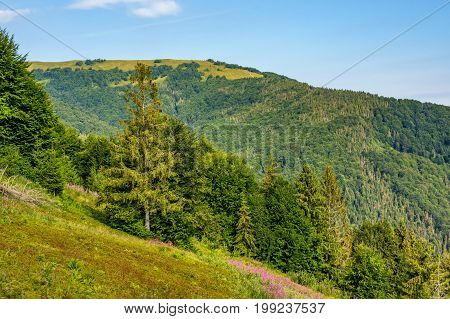 Hillside With Conifer Forest And Fireweed