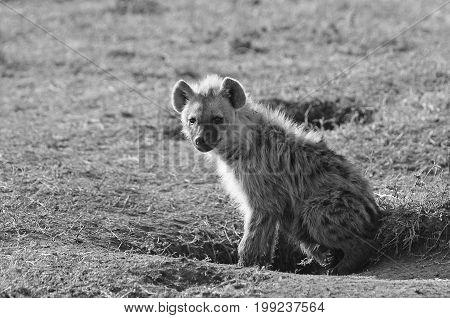 Adolescent Spotted Hyena resting on the plains in black & white Masai Mara Kenya