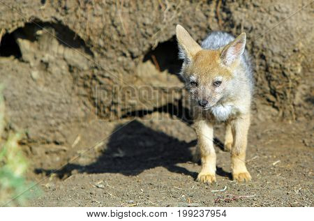 Black Backed Jackal Cub (Canis mesomelas) standing alone outisde it's Den in the Masai Mara National Park Kenya