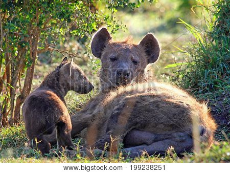 Mother Spotted Hyena and one of her tiny cubs resting in bushes in the Masai Mara wildlife reserve Kenya