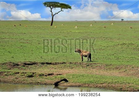 A spotted Hyena standing on the vast open plains of the Masai Mara National Park with an acacia tree and impala in the distance. Kenya Africa