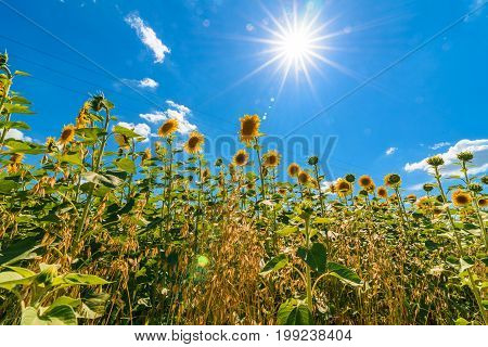 Field Of Blooming Sunflowers With Blue Sky Background, Free Space. Sunflower Field Over Cloudy Blue