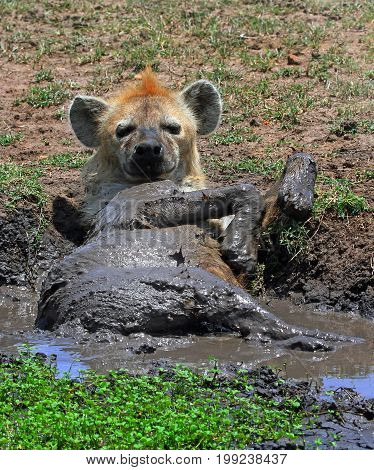 A spotted Hyena having a mud bath and looking straight into camera totally relaxed and content Masai Mara National Park Kenya