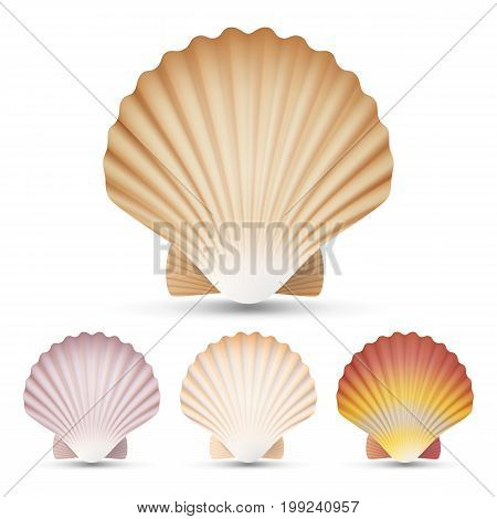 Scallop Seashell Vector. Beauty Exotic Souvenir Scallops Shell Isolated On White Background Illustration