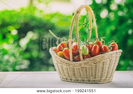 Healthy fruit with fresh Red Sweet tomatoes in a bamboo basket (Cherry Tomato Seeds)