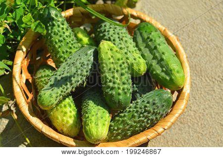 Cucumber Gherkin In Wattled Basket