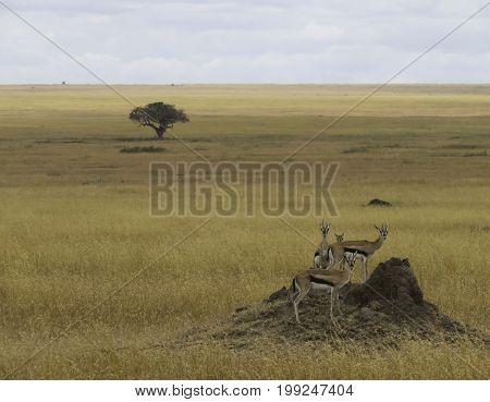Family of a Thompson Gazelle in vast open land of Serengeti