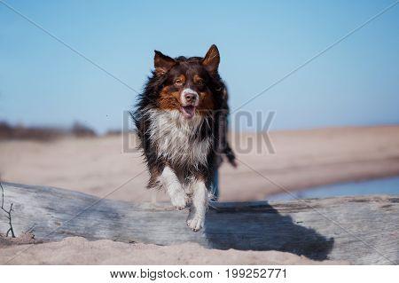 Dog Australian shepherd jumping through a tree on the beach