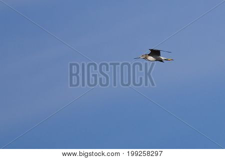 Sandpiper Flying in a Clear Blue Sky