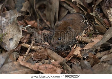 Bank Vole (Myodes glareolus) in deep leaf litter on forest floor