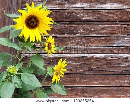 yellow sunflowers in front of old withered wood plank