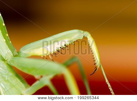 The paw of a green mantis in nature. macro
