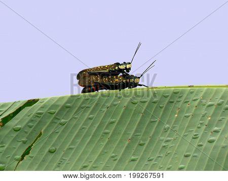 Coffee Locust grasshoppers (Aularches miliaris) pairing, Nepal