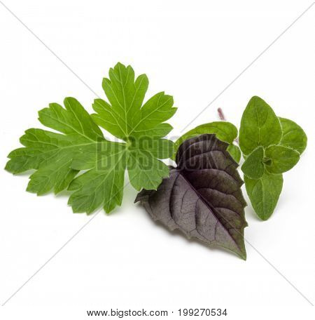 Fresh herb leaves variety isolated on white background. Purple dark opal basil, oregano, parsley.