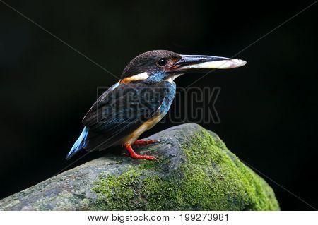 Blue-banded Kingfisher Alcedo Euryzona Male Birds Eating Fish