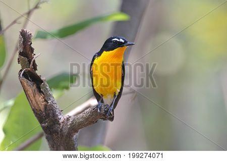 Yellow-rumped Flycatcher Ficedula Zanthopygia Male Cute Birds Of Thailand