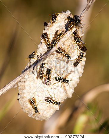 Wasps on the aspen in the wild .
