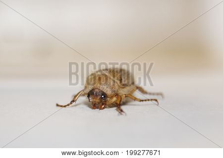 Cockchafer (may beetle or june bug, gen. Melolontha, fam. Scarabaeidae) on light background.