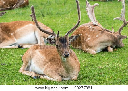 Male Fallow Deer laying on the ground