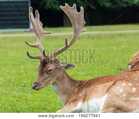 Close View Of A Fallow Deer